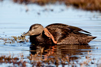 AM BLACK DUCK 09-10-2923062