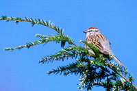 CHIPPING SPARROW 00-04