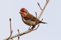 PURPLE FINCH 10-10-3028690