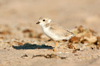 PIPING PLOVER 12-06-2451151