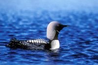 PACIFIC LOON 00-06