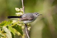 BG GNATCATCHER 09-06-068921