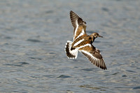 RUDDY TURNSTONE 11-12-1442486
