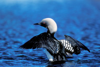 PACIFIC LOON 00-13