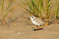 PIPING PLOVER 10-07-0125448