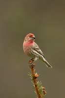 HOUSE FINCH 13-04-2962921