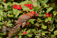 HOUSE FINCH 12-06-2751262