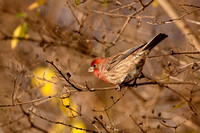 HOUSE FINCH 09-11-2019984