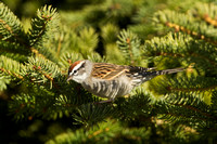 CHIPPING SPARROW 13-04-1862359