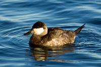RUDDY DUCK 12-01-0943663