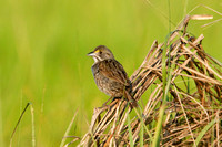 SEASIDE SPARROW 08-06-3012747