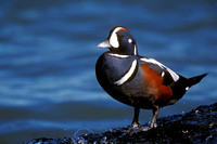 HARLEQUIN DUCK 00-03