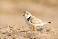 PIPING PLOVER 12-06-2150757
