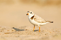 PIPING PLOVER 12-06-2150765