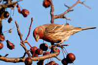 HOUSE FINCH 08-11-1720236