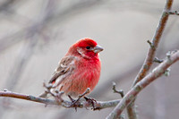 HOUSE FINCH 11-02-26 32816