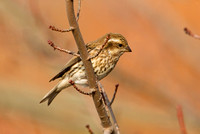 PURPLE FINCH 10-10-3028733