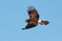 NORTHERN HARRIER 14-10-2777384