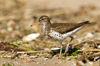 SPOTTED SANDPIPER 12-07-0351712