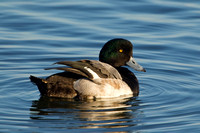 GREATER SCAUP 12-01-0944510
