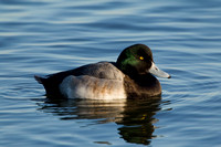 GREATER SCAUP 12-01-0944508