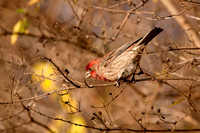 HOUSE FINCH 09-11-2019983