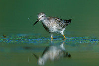 LESSER YELLOWLEGS 00-15