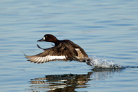 GREATER SCAUP 12-01-0944442