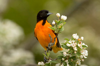 BALTIMORE ORIOLE 14-05-1474554