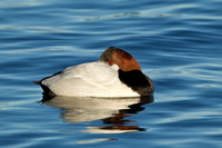 CANVASBACK 12-01-0944628