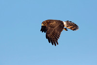 NORTHERN HARRIER 14-10-2777390