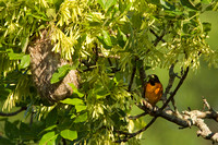 BALTIMORE ORIOLE 13-06-17615