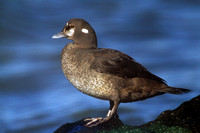 HARLEQUIN DUCK 00-06