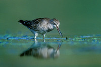 LESSER YELLOWLEGS 00-14