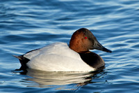 CANVASBACK 12-01-0944644