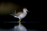 LESSER YELLOWLEGS 00-12
