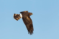 NORTHERN HARRIER 14-10-0376532