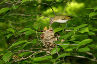 RED EYED VIREO 12-06-1148945