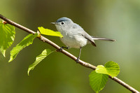 BG GNATCATCHER 11-05-1436479