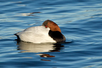 CANVASBACK 12-01-0944625