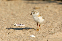 PIPING PLOVER 10-07-0625493