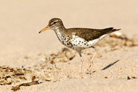 SPOTTED SANDPIPER 12-07-0351703