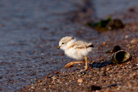 PIPING PLOVER 10-07-0625475