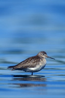 LESSER YELLOWLEGS 00-07