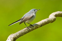BG GNATCATCHER 11-05-0736489