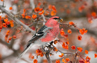 PINE GROSBEAK 08-01-0621913