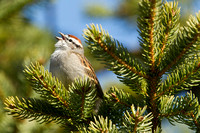 CHIPPING SPARROW 13-04-1862375