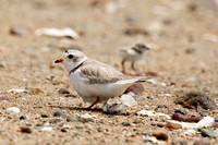 PIPING PLOVER 10-07-0125459