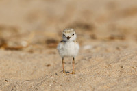 PIPING PLOVER 10-07-0625494