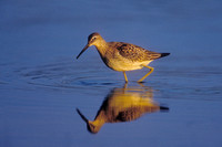 LESSER YELLOWLEGS 00-06